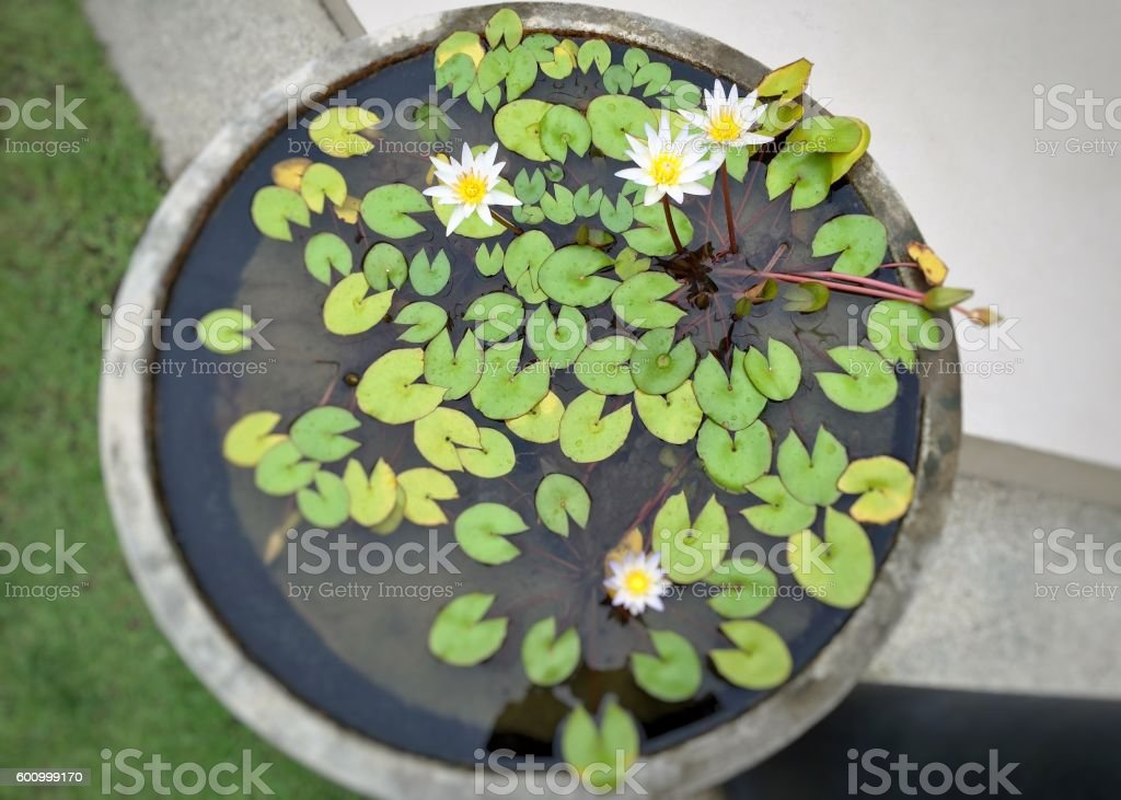 Lotuses in the pot royalty-free stock photo