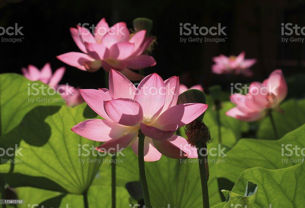 lotuses royalty-free stock photo