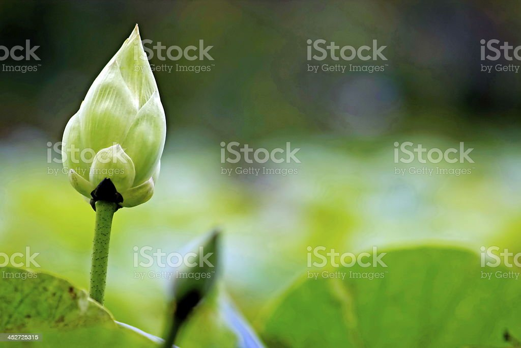 lotus,water lily royalty-free stock photo