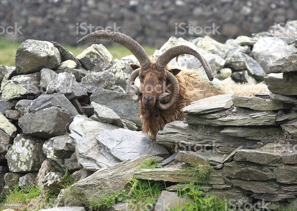 Loughtan Sheep Stockade stock photo