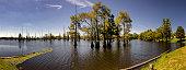Louisiana Cypress Tree Swamp Panoramic