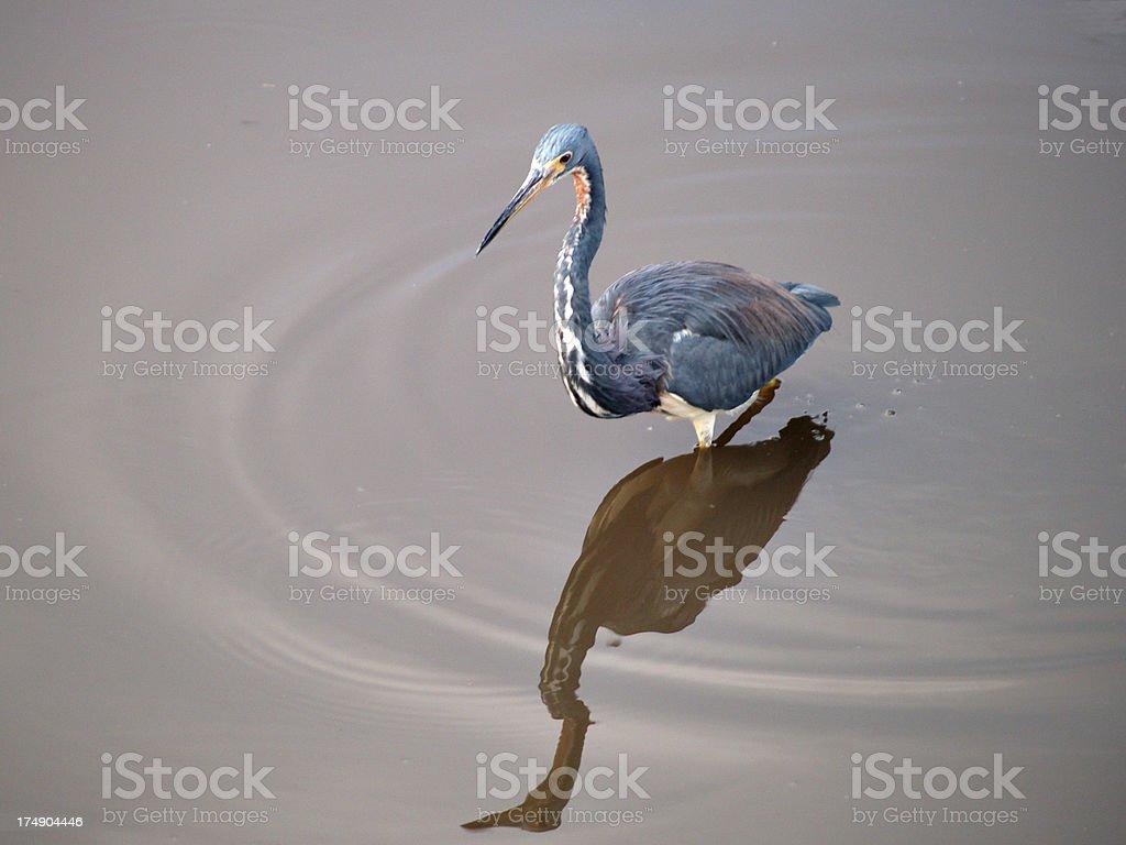 Louisiana heron stock photo