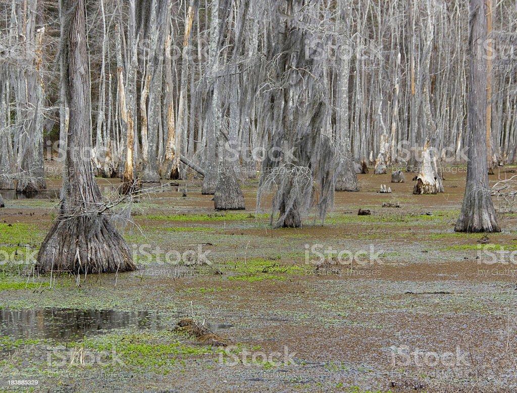 Louisiana swamp royalty-free stock photo