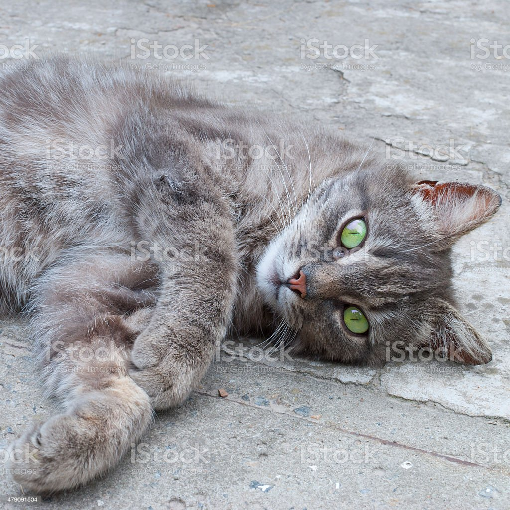 Lounging grey cat stock photo
