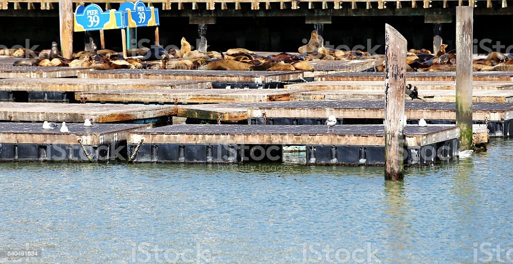 Lounging Sea Lions on Pier 39 Rafts stock photo