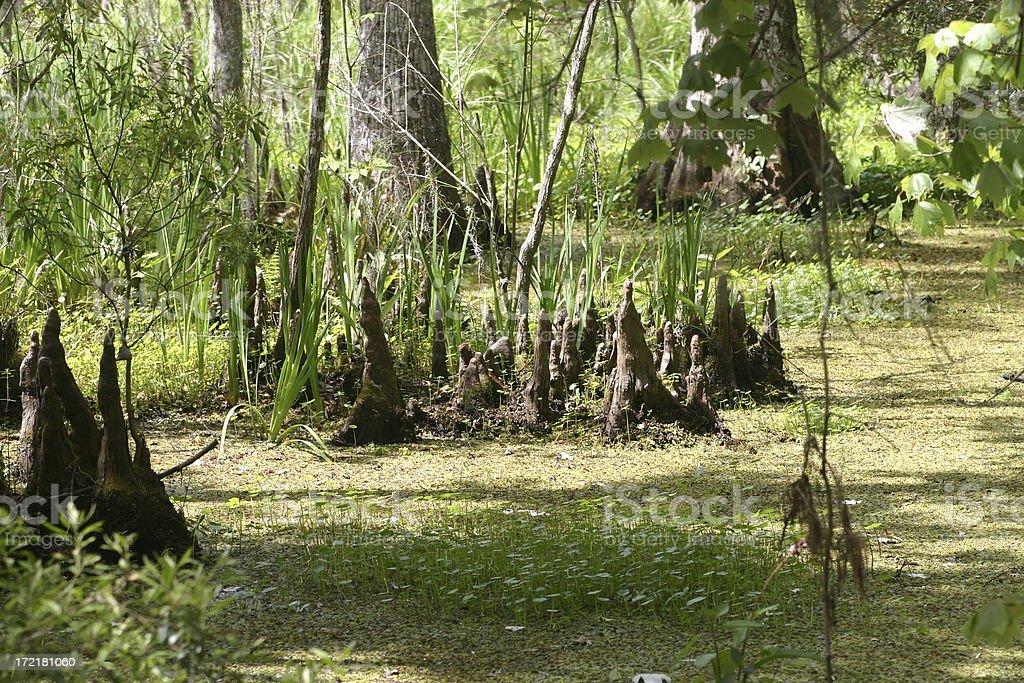 Lousiana swamp royalty-free stock photo