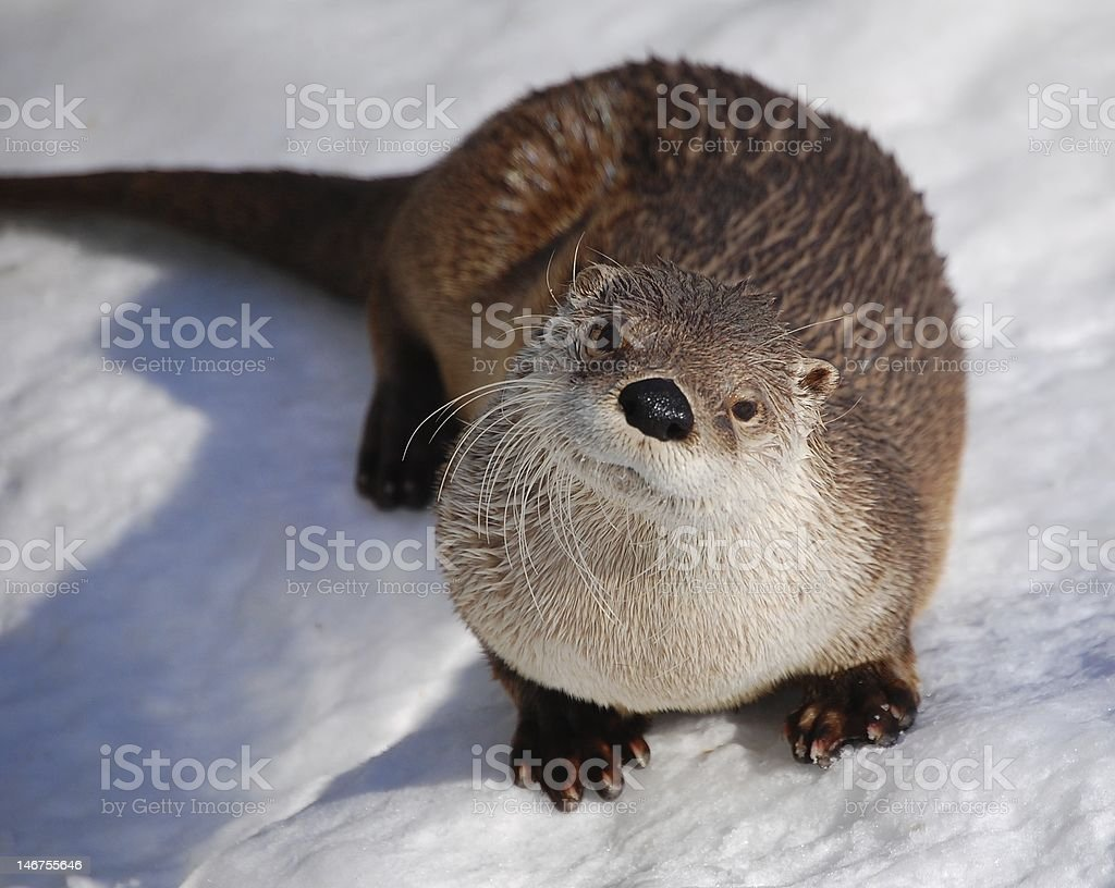 Loutre/ Otter stock photo