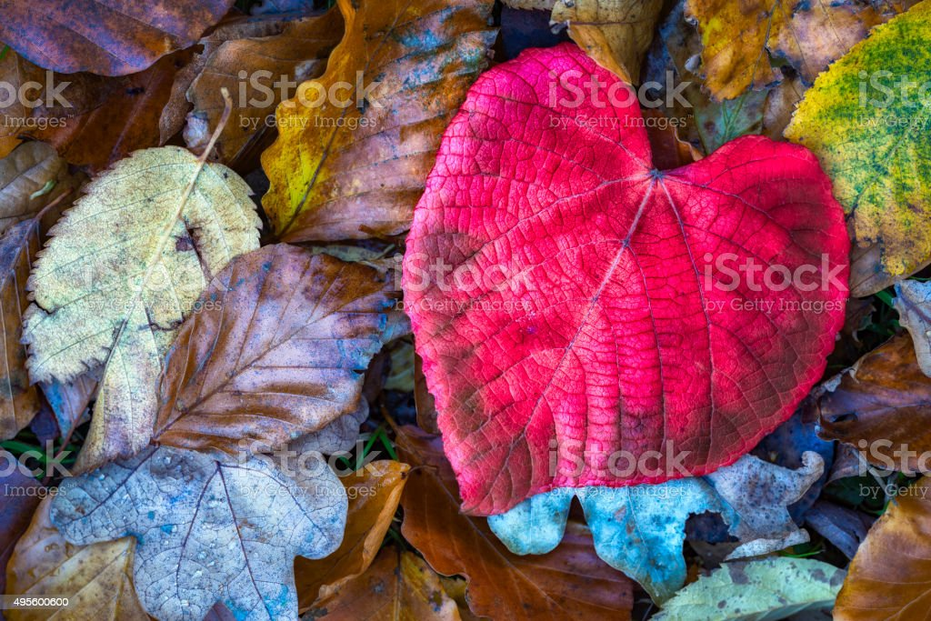 I Love Autumn. Heart shaped Lime tree leaf stock photo