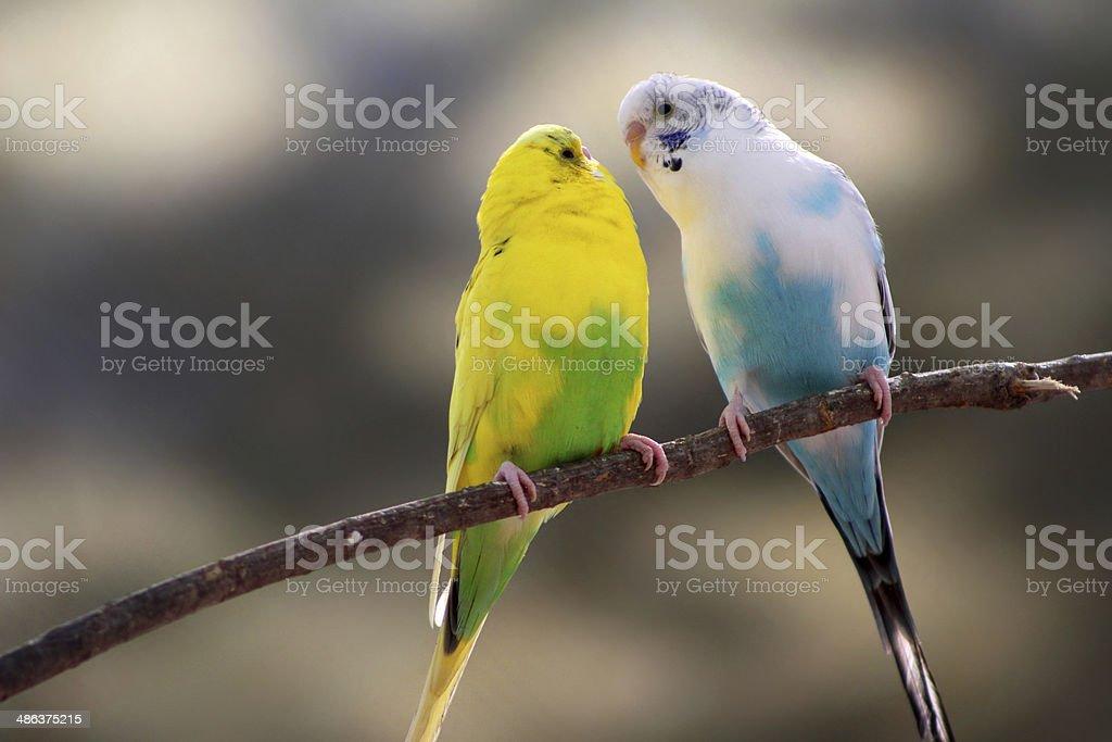 Love bird canaries stock photo