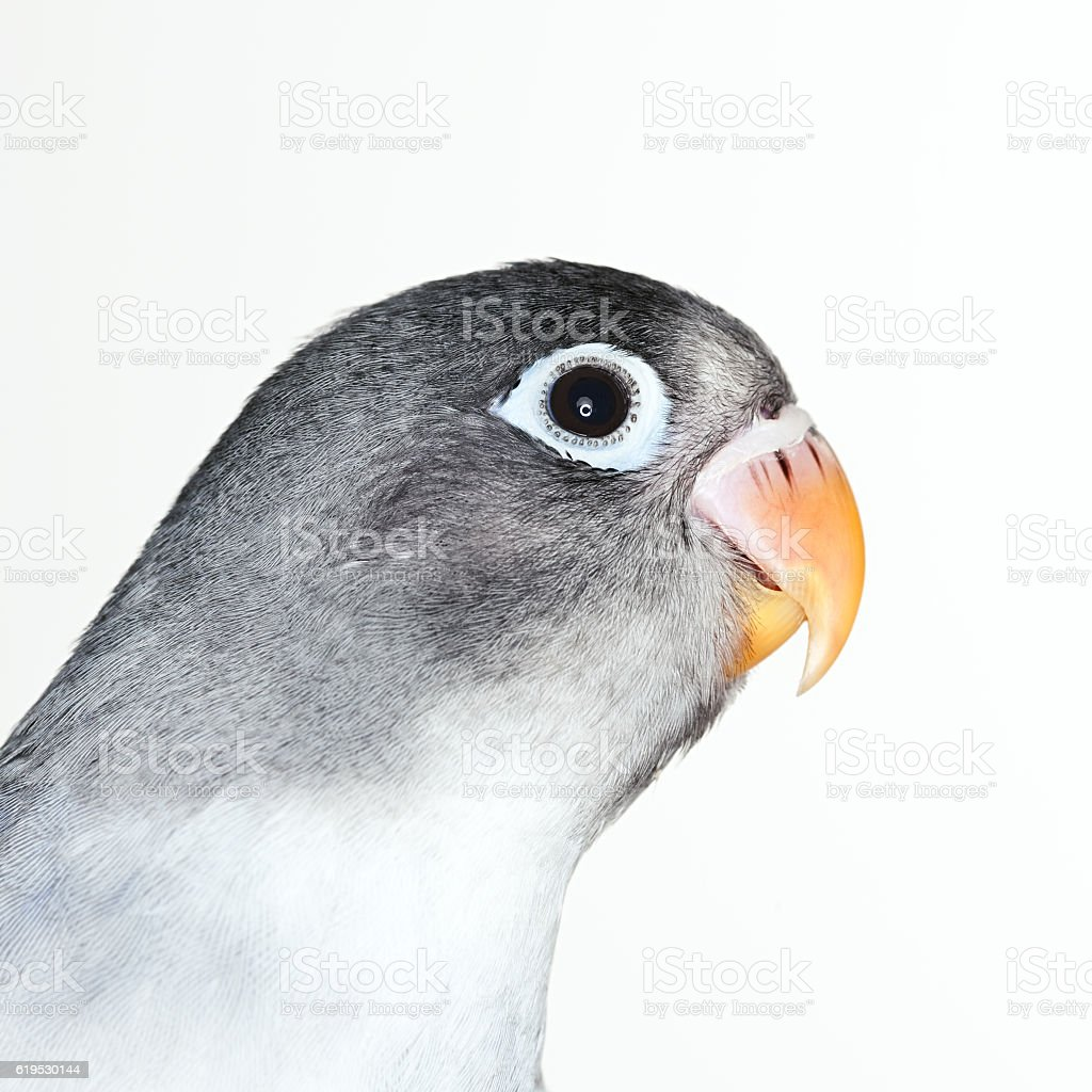 Love bird portrait stock photo
