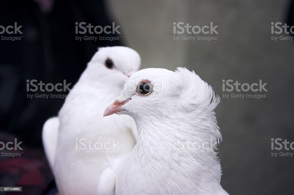 love birds royalty-free stock photo