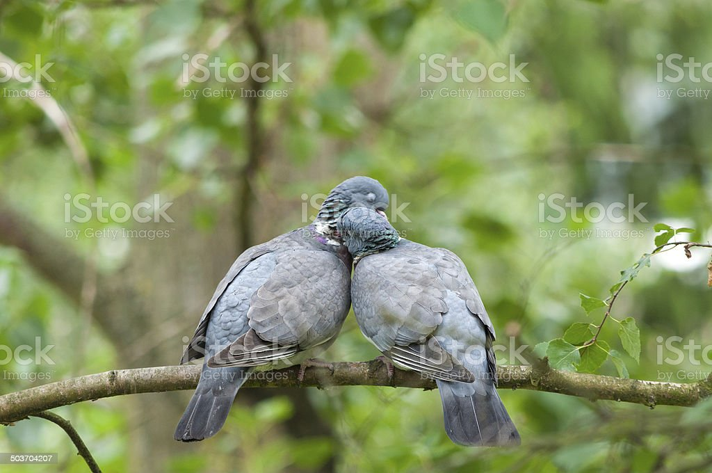 Love birds - wood pigeon pair kissing eachother stock photo