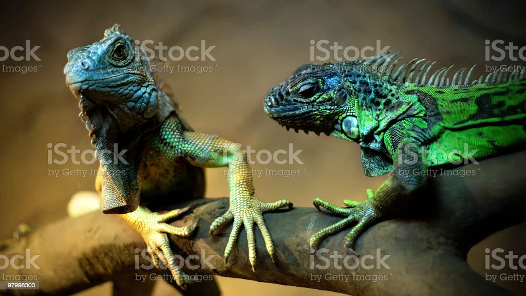 Love of İguana stock photo