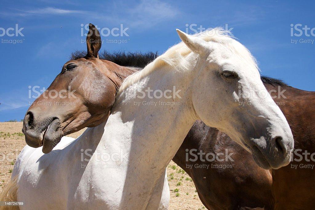 愛の馬 ロイヤリティフリーストックフォト