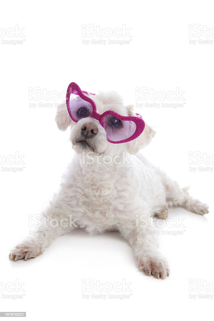 Love Sick Puppy looking through rose coloured glasses stock photo