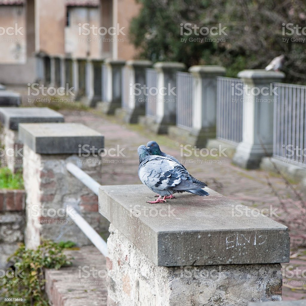 Love story between pigeons royalty-free stock photo