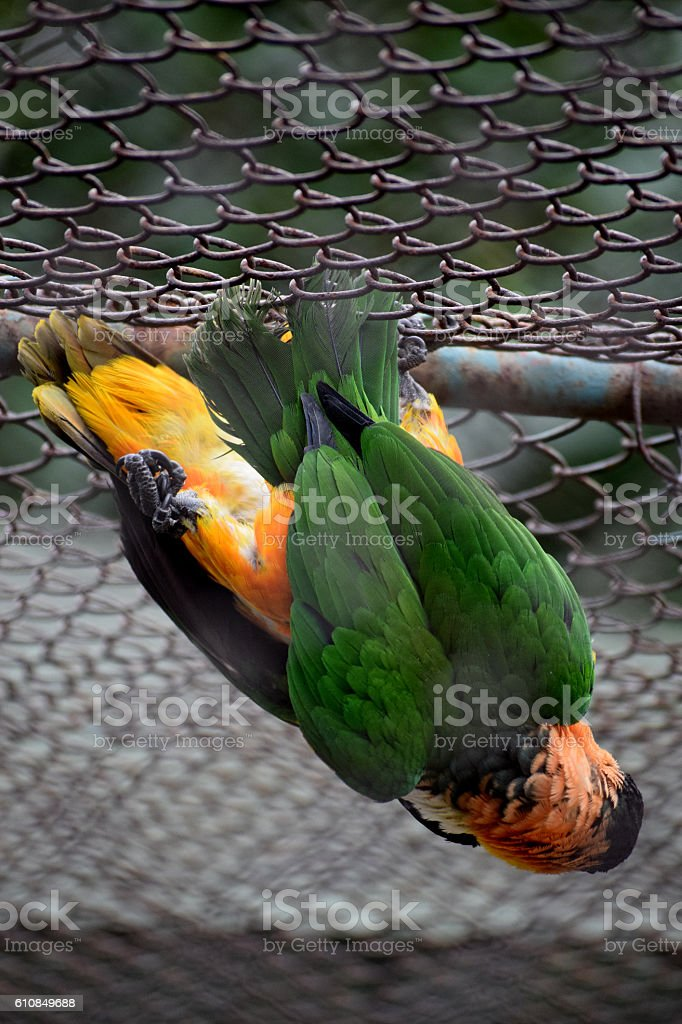 love two parrots in  cage stock photo
