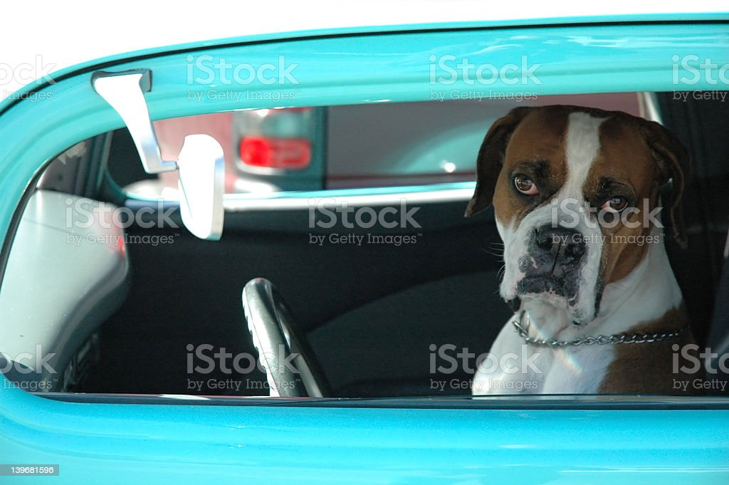 Loveable Dog Driving Car stock photo