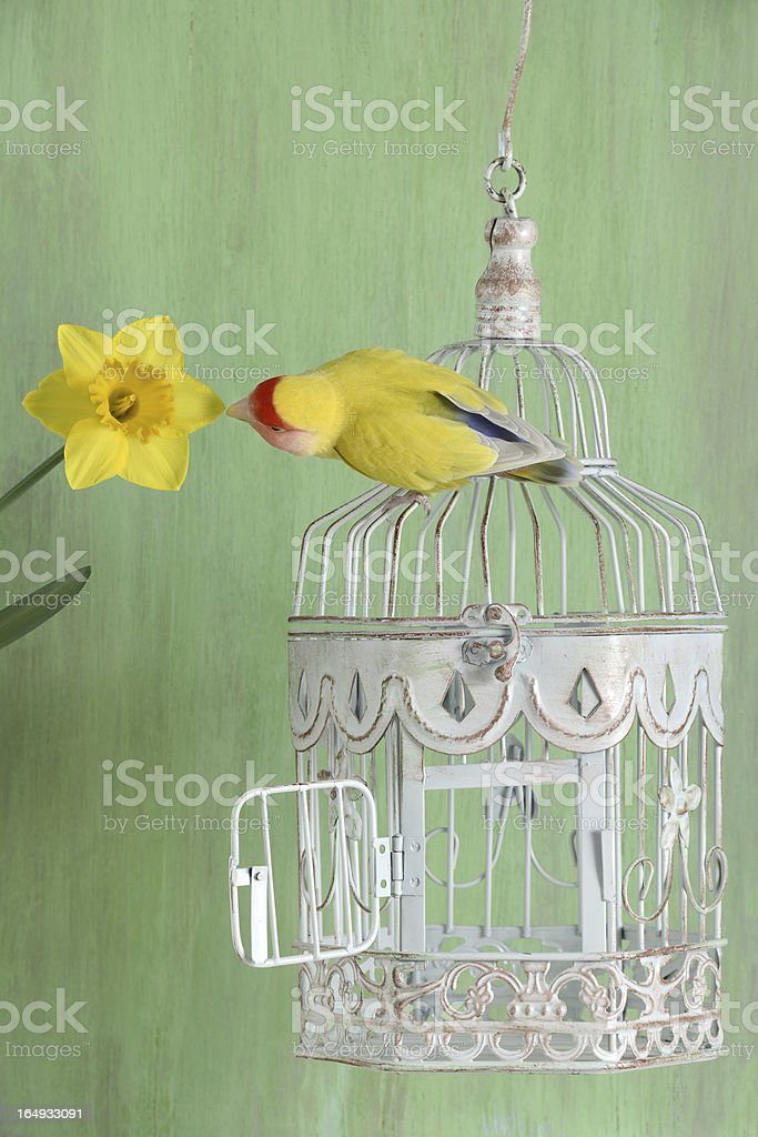 Lovebird and Daffodil royalty-free stock photo