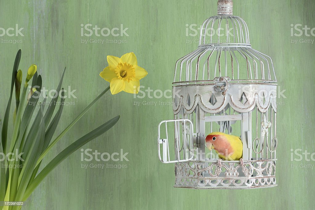 Lovebird and Daffodil stock photo