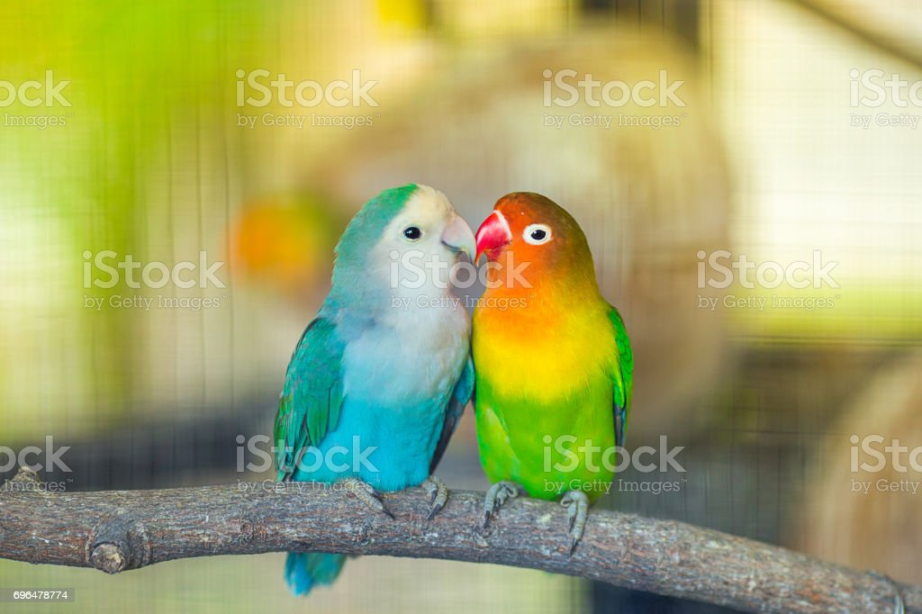 Lovebird Kiss stock photo