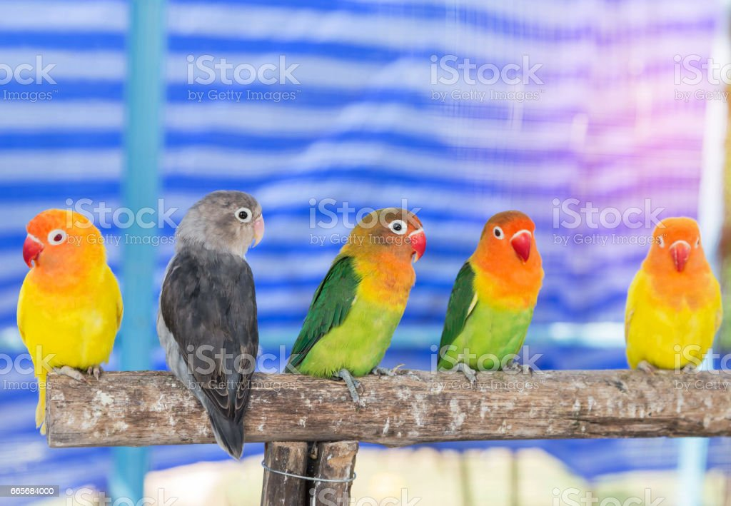 Lovebird (Agapornis fischeri ,Fischer's lovebird) little parrot birds stock photo