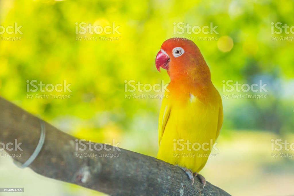 Lovebird parrots sitting on a tree branch stock photo