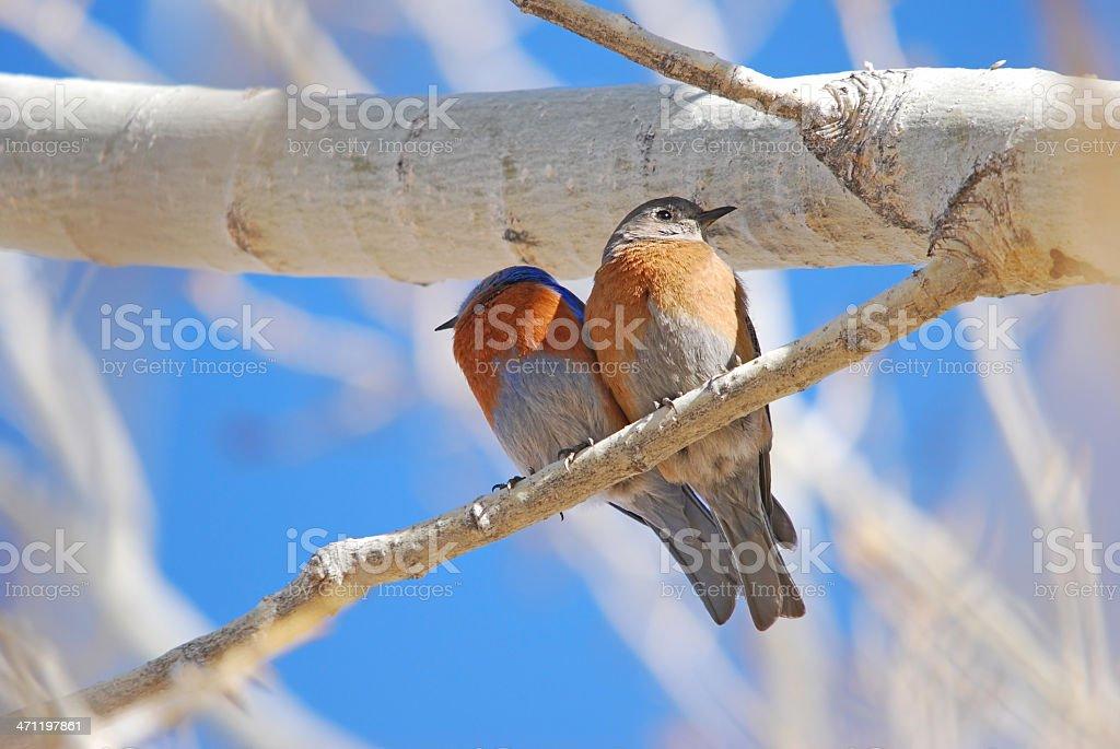 Lovebirds Quarrel royalty-free stock photo