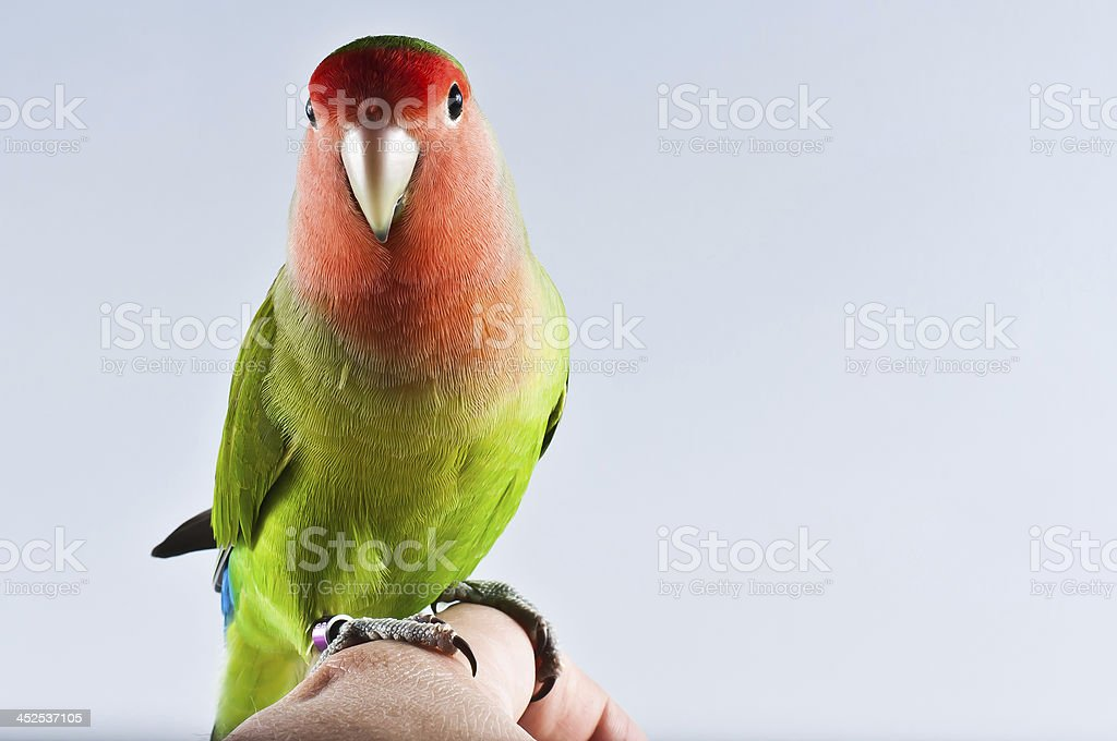 agapornis roseicollis stock photo