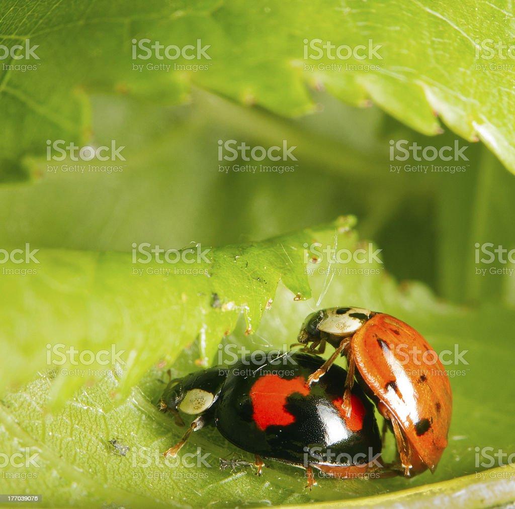 Lovebugs royalty-free stock photo