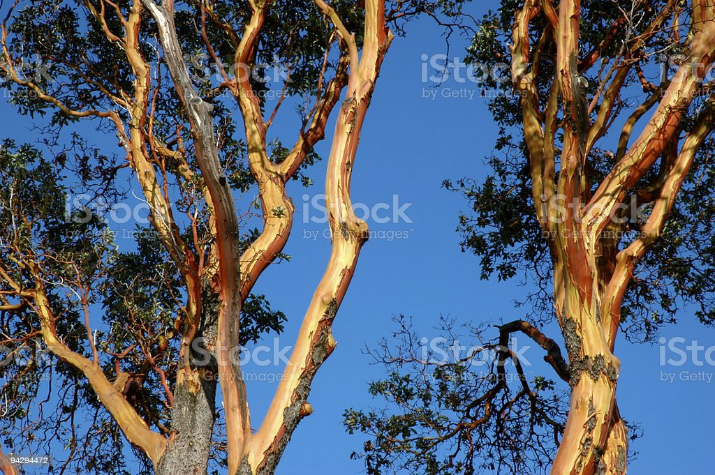 Lovely Arbutus stock photo