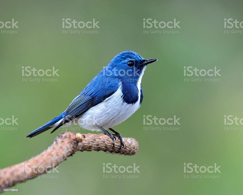 Lovely Blue Bird, Ultramarine Flycatcher, perching on branch wit stock photo