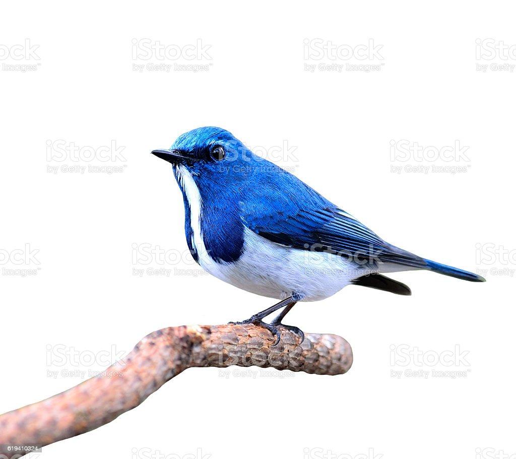 Lovely blue bird, Ultramarine Flycatcher posing on the branch is stock photo