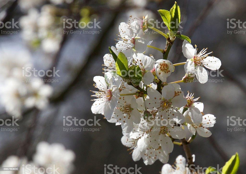 Lovely cherry wood flower stock photo