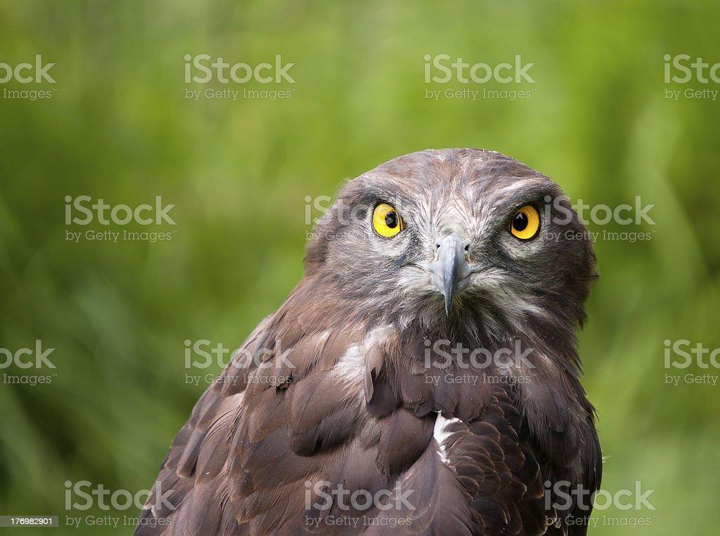 Piękny, zbliżenie czarnego chested Wąż eagle zbiór zdjęć royalty-free