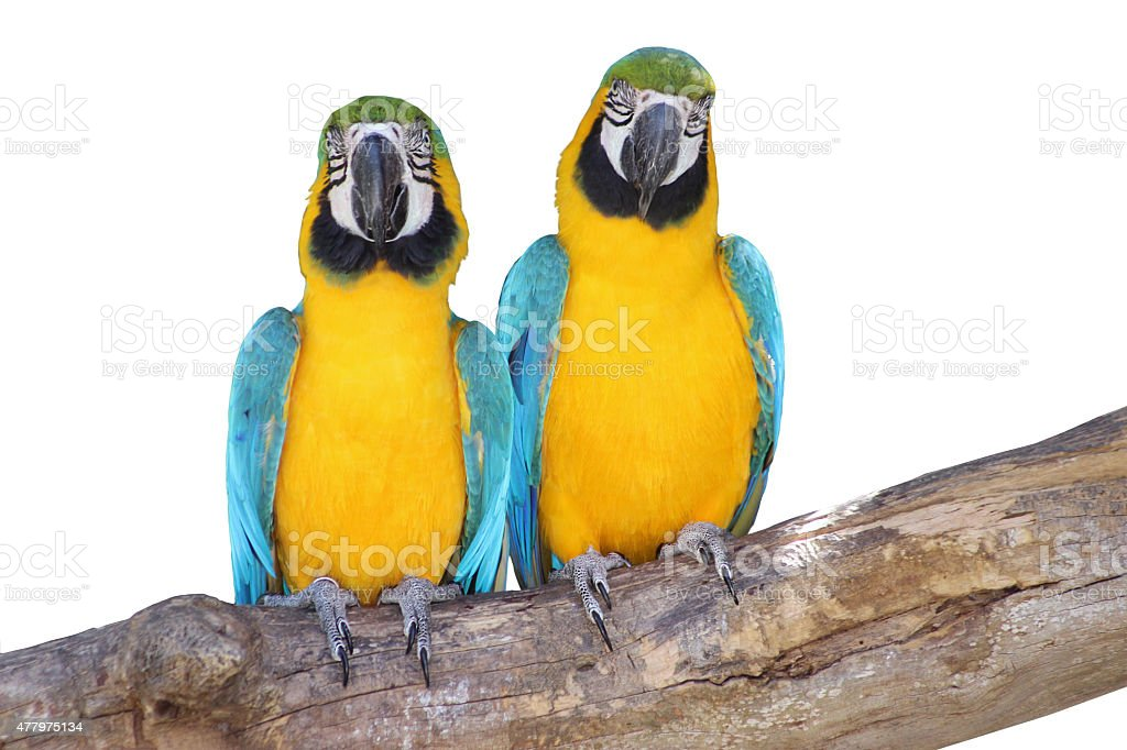 Lovely Couple - Blue and Yellow Macaws Isolated on White stock photo