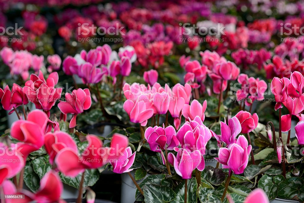Lovely cyclamen of red, pink, and purple hues stock photo