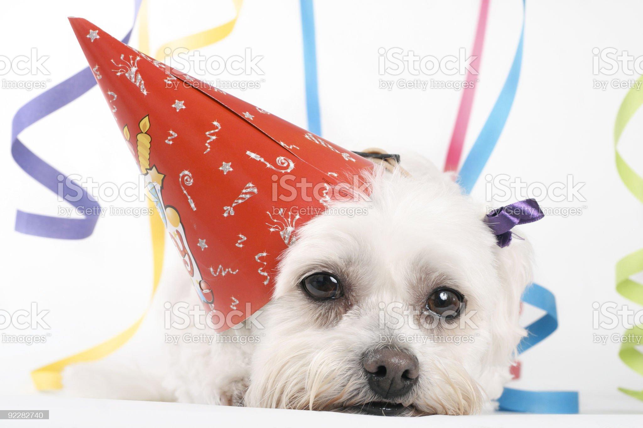 Lovely dog celebrating its birthday royalty-free stock photo