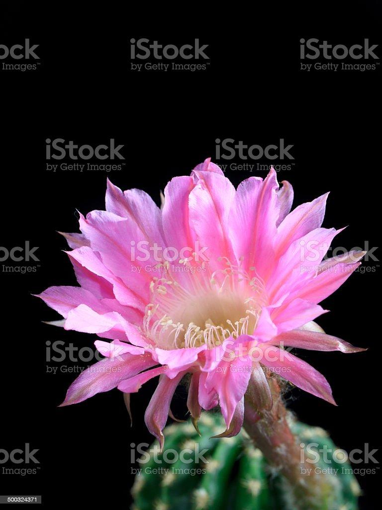 Schöne Echinopsis Lizenzfreies stock-foto