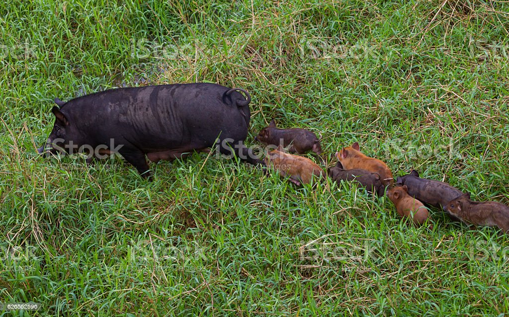 Lovely family of Wild boar stock photo