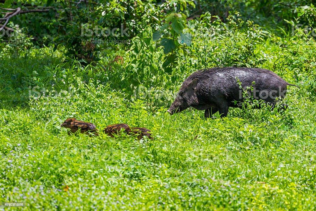Lovely  female Wild boar(Sus scrofa) stock photo