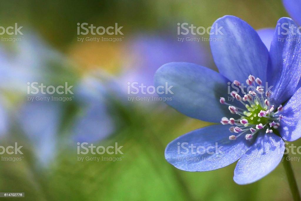 lovely flower hepatica stock photo