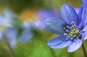 lovely flower hepatica