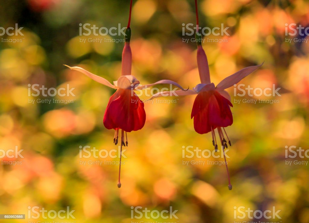 Lovely Fuchsia(Lady's Eardrops) flowers with multicolor bokeh. stock photo