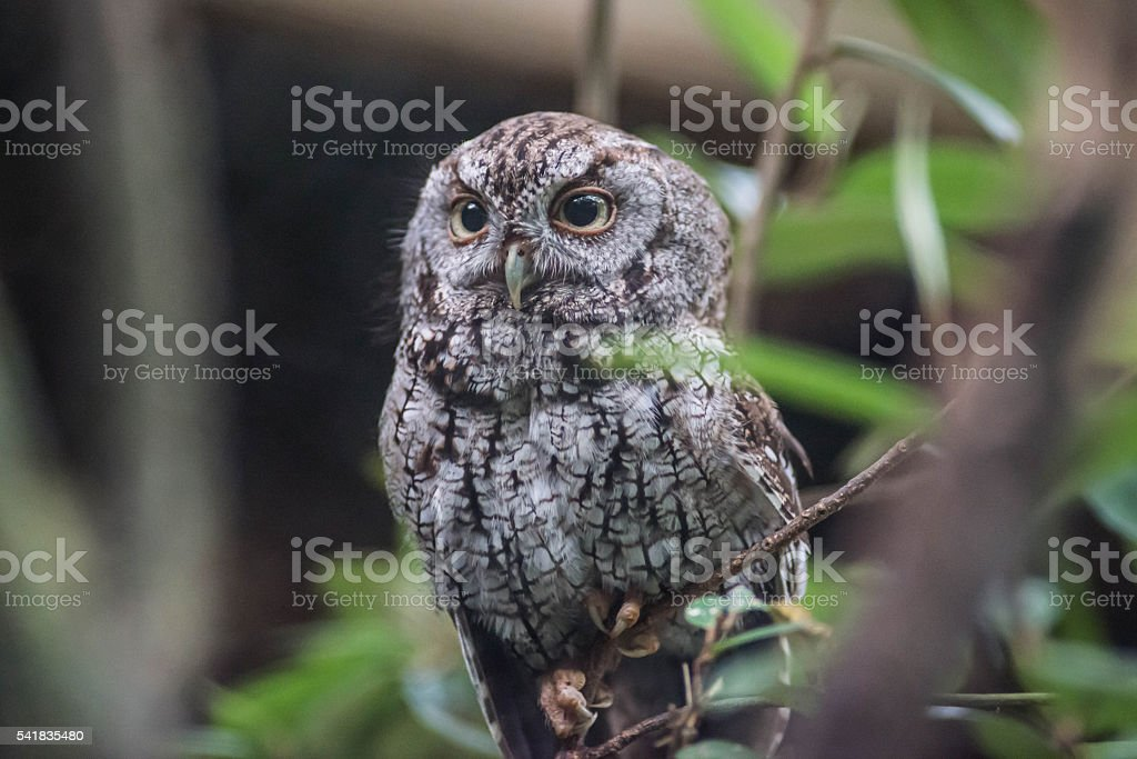 Lovely Grey Owl stock photo