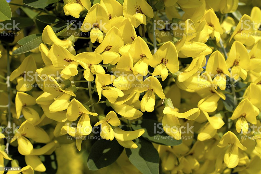 Beautiful but poisonous yellow laburnum close-up blooming stock photo