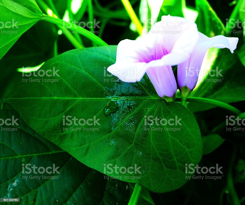 lovely ipomoea stock photo