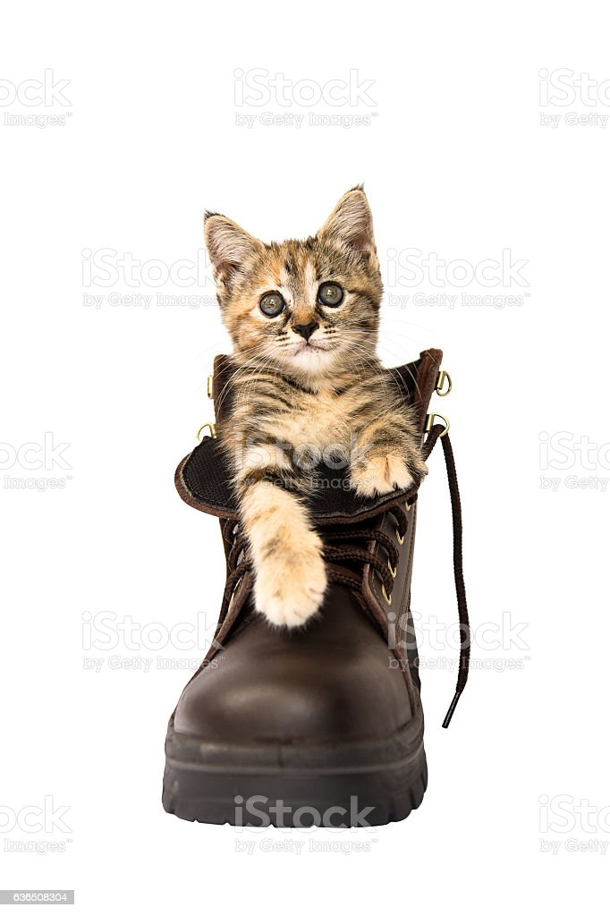 Lovely kitten in A brown safety shoe on white background stock photo