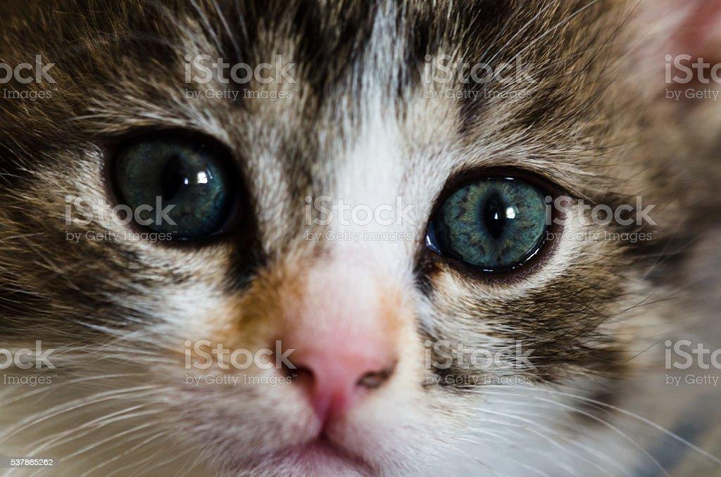 Lovely kitten looks faithfully up over white background close-up stock photo