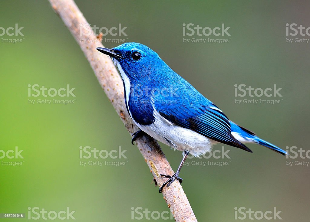 Lovely litle blue bird, Ultramarine flycatcher perching on the b stock photo